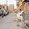 【インド驚愕の法律】牛を殺したら終身刑!?インドで牛は傷つけちゃダメ、ゼッタイ。