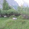 スイスの山羊たち