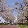 花見。2017.4.21