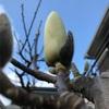 木蓮の花咲く