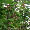 *今日から6月、ジューン・ベリーの木は実が6月に熟すというので、
