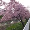 河津桜の隠れスポット!「らき☆すた」の聖地!「鷲宮神社」近くの「青毛堀川の河津桜」を満喫!