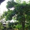 グレープフルーツの木。