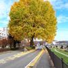 上の橋際のイチョウ。景観重要樹木。保存運動が起きた過去も。