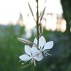 夜の白蝶草