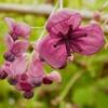アケビの花が咲きましたが近所に近縁種が無いので実がつかない悲哀。防風植栽のゴヨウアケビ