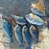 串本の磯で釣った寒グレはやはり最高のお味でしたよ(^_-)-☆