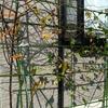 ブラックベリー 誘引 2012 1月