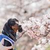 サンちゃんと3/25の桜~♪