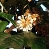 枇杷の花の匂ふ 斎藤茂吉