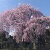 2017.4.13 黄梅院のシダレザクラ