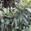 ゴミを出す集荷場に降りていく途中にある、枇杷の木。
