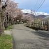 大町市、観光道路と市民の森の桜はまだ見頃だよ。2019.4.28