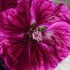 マロウ・ブルーを求めて。咲いた、採った、できた?