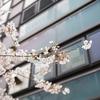 今年の桜 その5