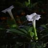 季節のお話「妖艶なるアサガオの花」