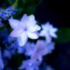 紫陽花に足とめて 小さな花と雨粒と