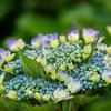 写真作品「開成町あじさいまつり」 #EOSM6 #紫陽花