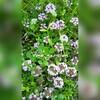 タイムロンギカウリスで緑と花の絨毯を