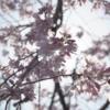 【ひとり写真部】陽だまりと咲き始めた桜で、気持ち整う。