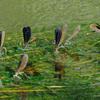 台風後の野川とハグロトンボの集団産卵