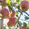 リンゴ園とケーキ屋と 茨城激走5000キロ!(うそ)
