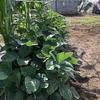【収穫したてがうまい】菜園のエダマメは窒素供給目的で栽培していますけど【根粒菌】
