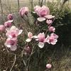 春がきました。庭に咲く花たち、モクレン、チンチョウゲなど