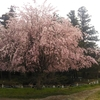 桜舞う季節  市内の桜