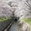 琵琶湖疏水、琵琶湖から山科へ続く満開の桜は絶景