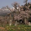 【写真複製・写真修復の専門店】山形 釜の越桜
