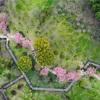 上海桜ドローン、 顧村公園の桜はちょっと早すぎたようです