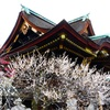 京都 梅の花 ②