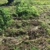 【オルかな農園報告㉘~にんにく初収穫!サツマイモも植えました~】