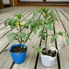 トマト増産