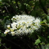 ウワミズザクラの花はサクラと違う?