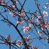 手賀沼遊歩道で咲き始めた桜花と囀るウグイス
