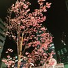 桜三選2018(渋谷南口&横浜) #夜桜 #葉桜