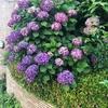 紫陽花と梅雨入り