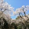 【散歩】「長興山紹太寺の枝垂桜」(小田原市入生田)が満開