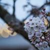 地元の桜 2021「ご近所 下見編 Part2」Ⅰ