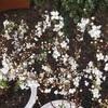 #11 ユキヤナギ 開花