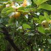 渋柿の実 ほんのり秋色