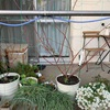 バラの鉢増し、剪定、誘引作業①