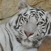【エムPの昨日夢叶(ゆめかな)】第841回 『今後、ホワイトタイガーは飼育しません!という看板に込められた夢叶なのだ!?』[6月7日]