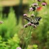 アゲハ蝶を撮った夏の思い出