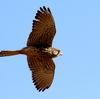 獲物を狙って飛ぶチョウゲンボウ