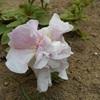 八重咲きのペチュニア。オーキッドミストです。