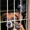 """韓国「""""犬肉""""65%から抗生剤検出…""""一般畜産物の96倍""""細菌も検出」"""