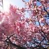 33歳の3月 お花見候補地を探す